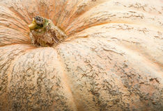 Pumpkins in Ludwigsburg,Germany Royalty Free Stock Image