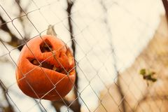 Pumpkins malicious bright for Halloween. Toothy hang on a fence of a grid Royalty Free Stock Photo