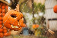 Pumpkins malicious  bright for Halloween. Toothy hang on a fence of a grid Stock Image