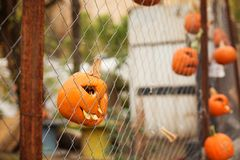 Pumpkins malicious  bright for Halloween. Toothy hang on a fence of a grid Stock Photo