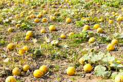 Pumpkins. Many pumpkins on the field Royalty Free Stock Image