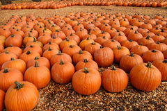 Pumpkins. Many pumpkins recently harvested are grouped together on wood chips waiting for customers to pick their`s for Halloween Stock Photography
