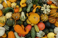 Pumpkins Mix Of Various Colors And Varieties Royalty Free Stock Image