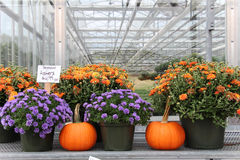 Pumpkins and mum. S on display for sale in a greenhouse Royalty Free Stock Photo