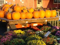 Pumpkins and Mums Stock Images
