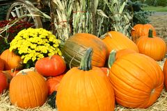 Pumpkins, Mums and Cornstalks Stock Photography