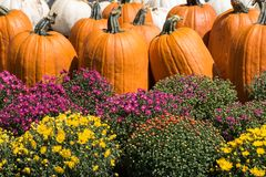 Pumpkins and mums. Orange and white pumpkins with fall chrysanthemums Royalty Free Stock Images