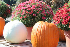 Pumpkins and mums. Sitting on wood pallet Stock Photos