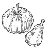 Pumpkins. Natural organic hand drawn vector sketch engraved illustration. Autumn vegetable, berry Isolated on white background. Pumpkins. Natural organic hand Stock Photos