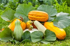 Pumpkins outdoor Royalty Free Stock Photos
