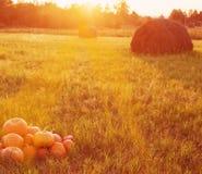 Pumpkins outdoor Stock Image