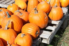 Pumpkins on a pallet. Bright orange pumpkins spread out on wooden pallets Royalty Free Stock Image