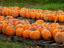 Pumpkins on pallets Stock Image