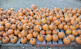 Pumpkins on pallets Stock Photo