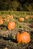 Pumpkins patch Royalty Free Stock Photos