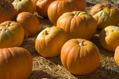 Pumpkins in a patch Royalty Free Stock Images