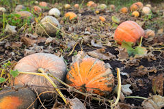 Pumpkins patch field with big gourds Stock Photo