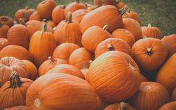 Pumpkin patch in October. Pumpkins in a patch on a nice fall day in October Royalty Free Stock Photography