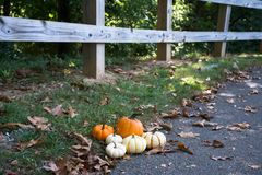 Pumpkins Patch. Pumpkin Patch for this Fall season. Pick the best color and size Royalty Free Stock Photo