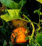 Pumpkins in the Patch stock images