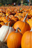 Pumpkins in Patch Waiting to be Chosen Stock Photos