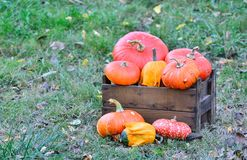 Pumpkins. Stock Image