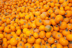 Pumpkins piled up for sale Stock Images