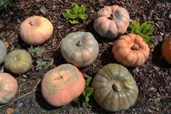Pumpkins placed on the ground. Royalty Free Stock Photography