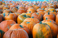 Pumpkins a'plenty Royalty Free Stock Images
