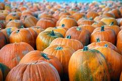 Pumpkins a'plenty. Pumkins lined up at pumpkin patch Royalty Free Stock Images