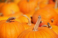 Pumpkins in a pumpkin patch Royalty Free Stock Photos