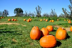 Pumpkins in pumpkin patch Stock Image