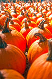 Pumpkins on pumpkin patch Royalty Free Stock Images