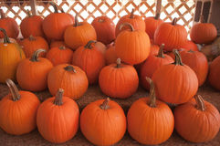Pumpkins on pumpkin patch Royalty Free Stock Photography