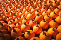Pumpkins on pumpkin patch Stock Photography
