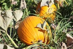 Pumpkins. In a pumpkin patch Stock Photo