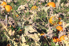 Pumpkins. In a pumpkin patch Stock Images