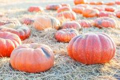 Pumpkins at pumpkin patch Stock Photography