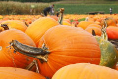 Pumpkins in a Pumpkin Patch Stock Photo