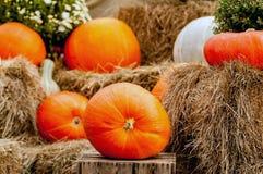 Pumpkins on a pumpkin patch Stock Photography