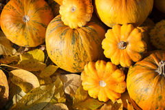 Pumpkins in pumpkin patch. Pumpkins on a field and autumn leaves Royalty Free Stock Image