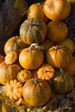 Pumpkins in pumpkin patch. Pumpkins on a field in the countryside Stock Images