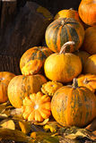 Pumpkins in pumpkin patch. Pumpkins on a field in the countryside Royalty Free Stock Photography
