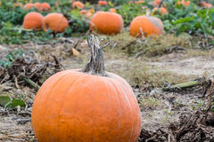 Pumpkins in a Pumpkin Patch Stock Images