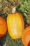 Pumpkins at the Pumpkin Patch Royalty Free Stock Photos