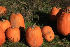 Pumpkins at a Pumpkin Patch. Pumpkins sit in the grass at a pumpkin patch Royalty Free Stock Images