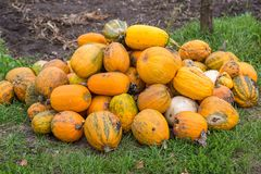 Pumpkins in pumpkin patch waiting to be sold Royalty Free Stock Image