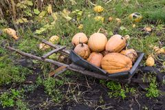 Pumpkins in pumpkin patch waiting to be sold Stock Photo