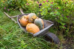 Pumpkins in pumpkin patch waiting to be sold Stock Photography