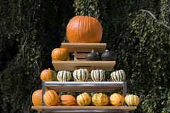 Pumpkins on a rack Stock Photography